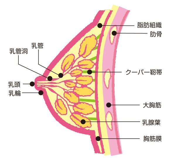 垂れ乳 改善 ブラ 治したい 原因